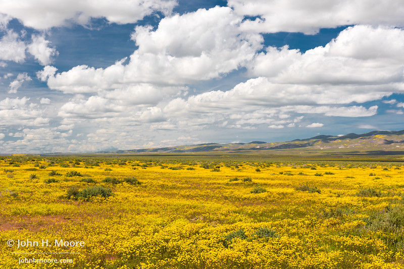 Yellow flower fields in Carrizo Plain National Monument