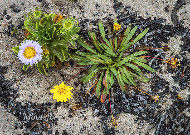 Seaside Daisy Erigeron glaucus and Beach Dandelion Agoseris apargioides