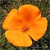 California poppy...