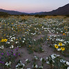 Dandelions mix with dune evening primrose, desert sand verbena, and desert sunflowers off Henderson Canyon Road in Anza-Borrego Desert State Park, California.