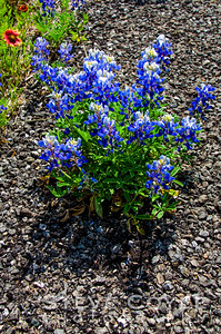 Bluebonnet in Asphalt