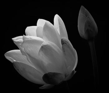 American Lotus  08 19 10  046 - Edit