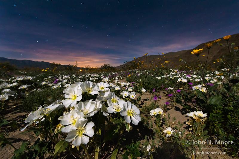Night sky over dune evening primrose in Anza-Borrego Desert State Park, California.
