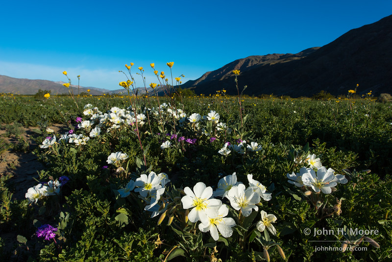 Wildflowers bloom off Henderson Canyon Drive in Anza-Borrego Desert State Park.