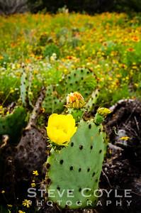 Wildflower Cactus