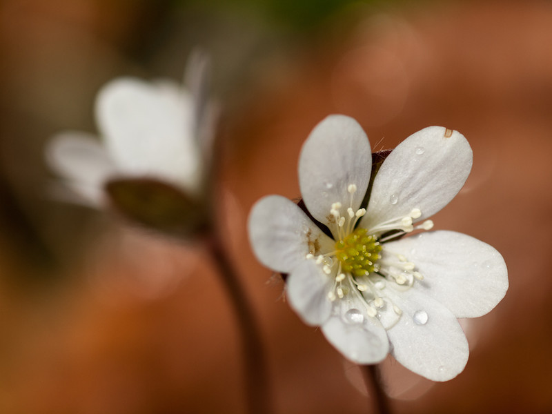 Got one more shot at the hepatica in bloom, this time after a gentle shower which I waited out beneath a spreading hemlock.  Shot w/the OM 90mm macro at almost wide open.  f2.8