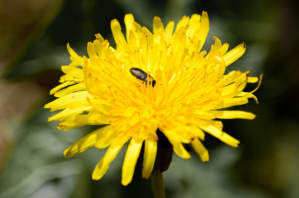 Dandelion with Click Beetle