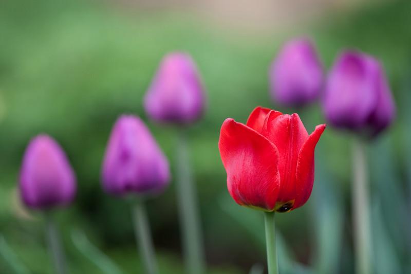 Tulips blooming in Calgary, at long last
