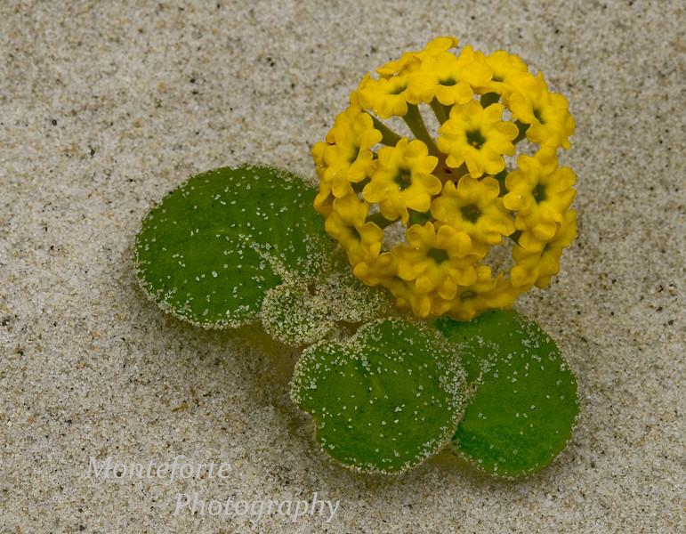Yellow Sand Verbena, Abronia latifolia