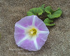 Beach morning glory Calystegia soldanella