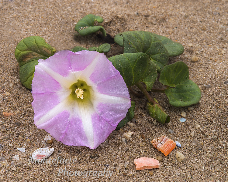 Beach morning glory Calystegia soldanella