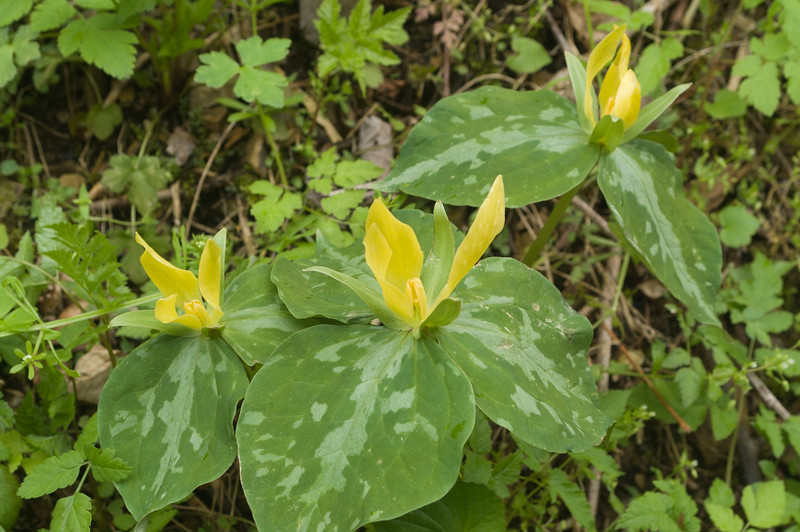 Yellow Trillium (Trillium leteum), Great Smoky Mountains National Park, Tennessee