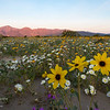 Dandelions greet the morning sun in Anza-Borrego Desert State Park, California.