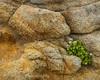 Seaside Daisy Erigeron glaucus