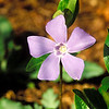 Periwinkle (Vinca minor), Great Falls, Virginia