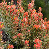 Castilleja foliolosa<br /> Woolly Indian paintbrush found trail side at Pinnacles National Monument, Soledad, CA  These seem to only grow high up in the relatively dry and windy scree.