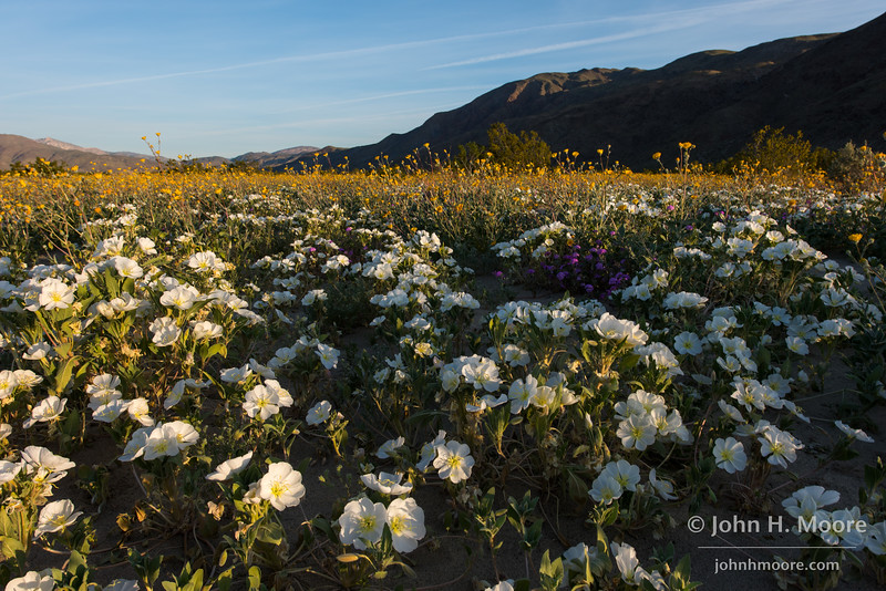 A field of dune evening primrose greet the morning sun in Anza-Borrego Desert State Park, California.