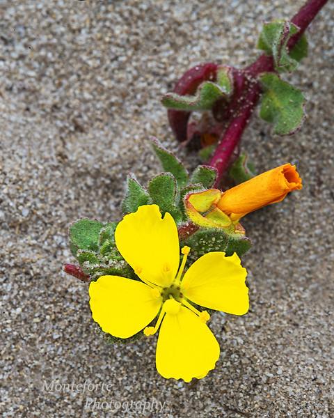 Beach Primrose Camissoniopsis cheirantifolia