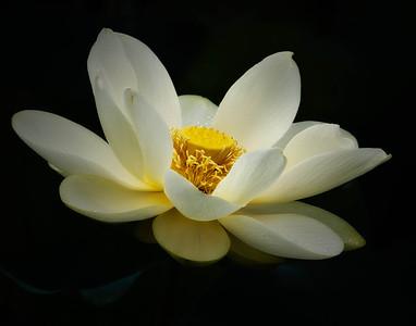 American Lotus  08 17 10  027 - Edit