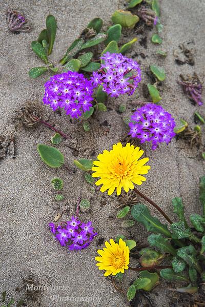 Purple sand verbena Abronia umbrellata and Beach Dandelion Agoseris apargioides