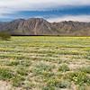 A field of desert dandelions along DiGorgio Road in Borrego Springs, California, USA.