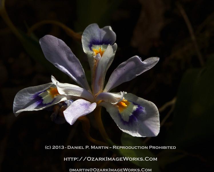 Woodland Iris