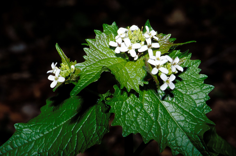 Garlic Mustard (Alliaria officinalis), River Bend, Great Falls, Virginia