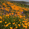 California poppies and Arroyo lupine at Diamond Valley Lake in Southern California.