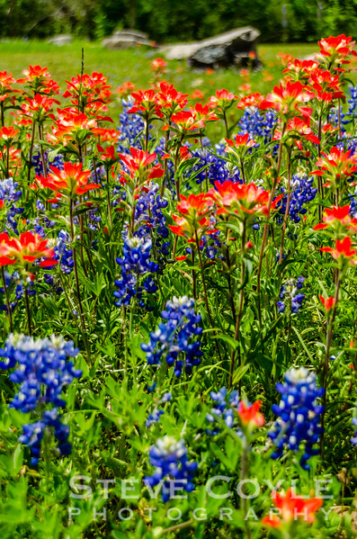 Bluebonnet Paintbrush