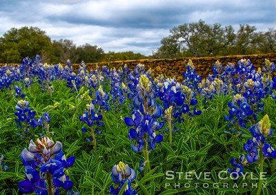 Not many bluebonnets were blooming on this trip into the Hill Country, but the few patches I found were quite nice. I really liked how the granite wall looked behind this grouping of the state flower.