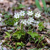 Pointed-lobed hepatica