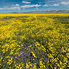 Mixed wildflowers in Carrizo Plain National Monument