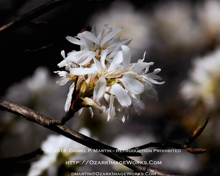 Serviceberry Blossoms