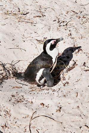 African penguin on nest.