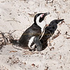 African penguin on nest.