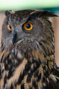 Eagle Owl, Denver Zoo, CO, 5629