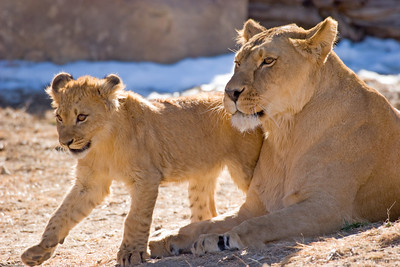 Lions, Denver Zoo, CO, 0266