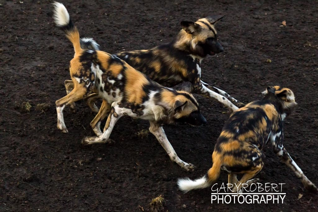 Afican Parrie Dogs