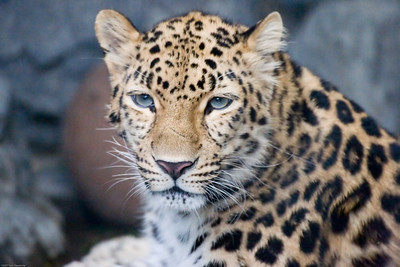 Leopard, Denver Zoo, CO, 5731