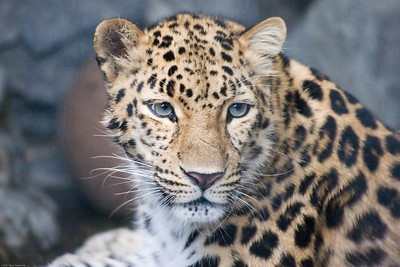 Leopard, Denver Zoo, CO, 5729