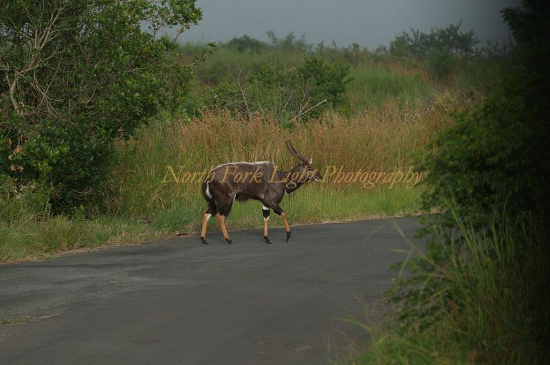 Nyala a rare antelope