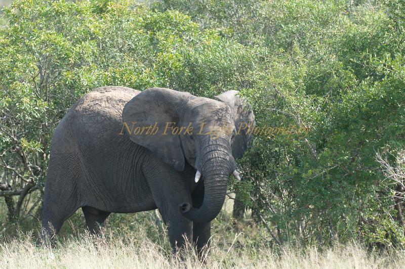 Teenage elephant.