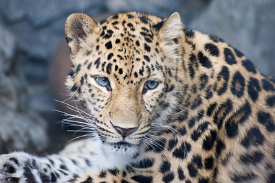 Leopard, Denver Zoo, CO, 5725