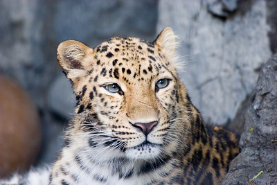 Leopard, Denver Zoo, CO, 5717