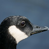 Canada Goose Close Up