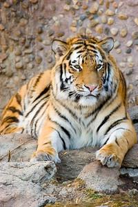 Tiger, Denver Zoo, CO, 0803