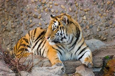 Tiger, Denver Zoo, CO, 0810