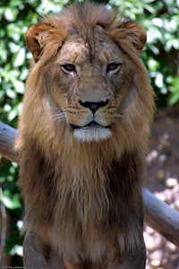 Lion, Denver Zoo, CO, 0827