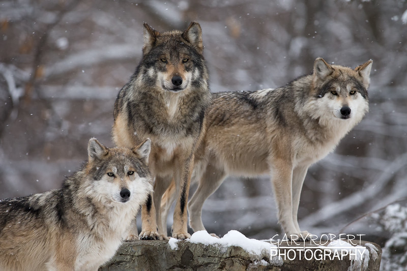Mexican Grey Wolfs