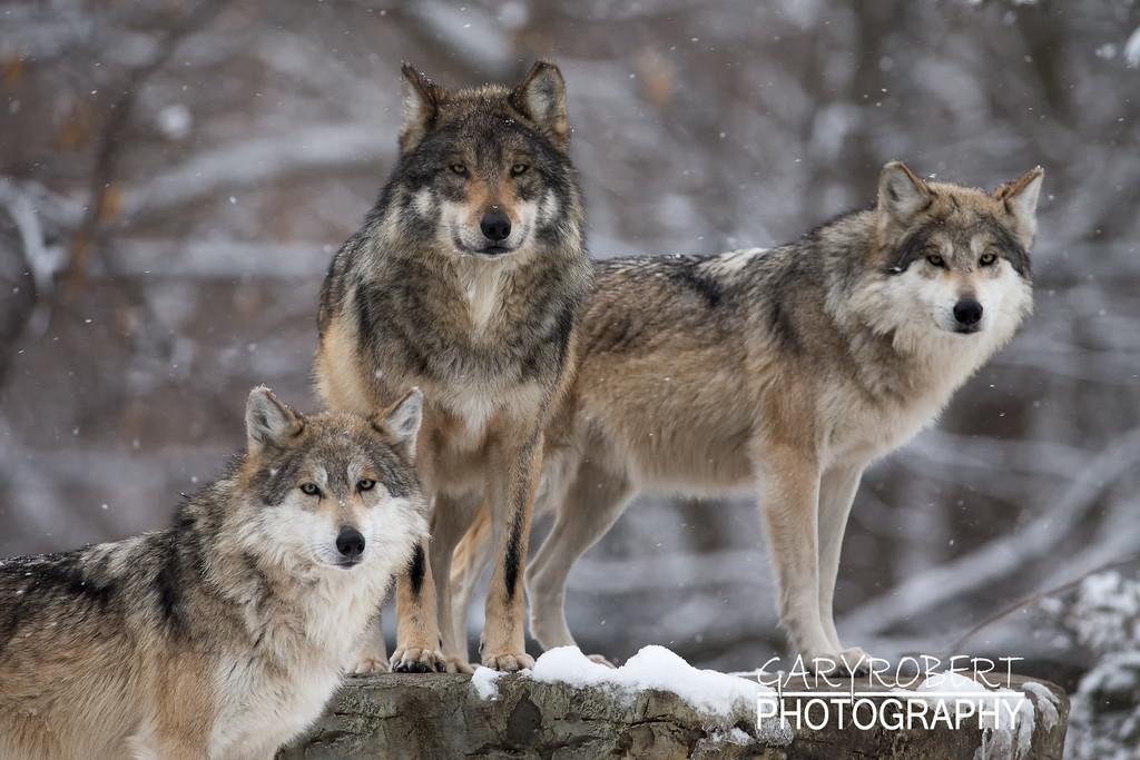 Mexican Grey Wolfs